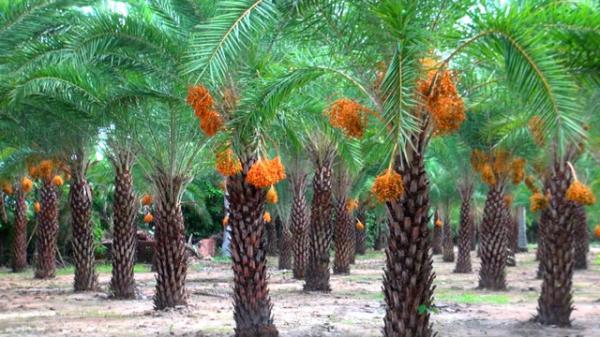Chà là - cây kiểng công trình mới tại làng hoa Sa Đéc khiến hàng vạn người mê