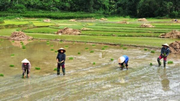 Rộn ràng không khí gieo cấy lúa mùa tại Na Rì