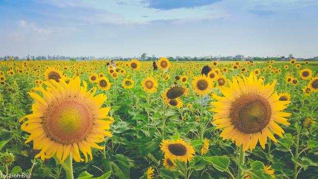 Thái Bình: Hai cánh đồng hoa hướng dương tạo 'cơn sốt' ngày đầu hè