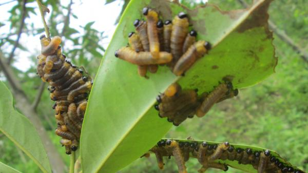 Gần 400 ha rừng mỡ bị sâu ong gây hại