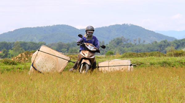 Chạy xe máy bắt châu chấu kiếm tiền triệu mỗi ngày