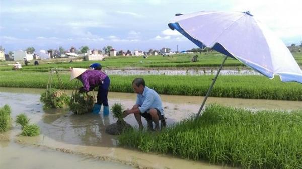 Thái Bình: Tranh thủ trời 'mát', nông dân ra đồng đi cấy cho kịp thời vụ