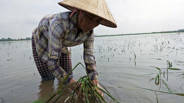 Chiều tối nay bão số 3 đổ bộ, lúa ở vùng ven biển tỉnh Nam Định có nguy cơ bị ngập