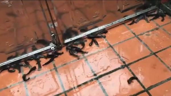 Ngủ dậy bất ngờ thấy cả đàn cá rô lúc nhúc trên sân nhà sau mưa, đội ô nhặt mỏi tay không hết cá