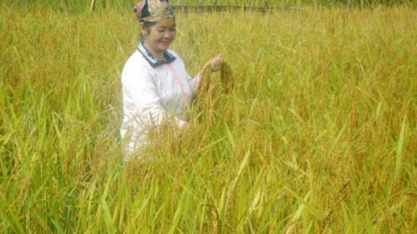 Lúa nếp vàng - đặc sản vùng cao Bắc Kạn