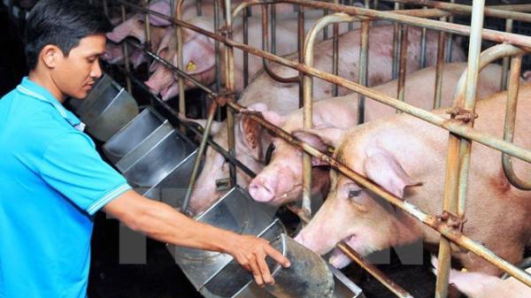 Ngành nông nghiệp khuyến cáo người dân hạn chế mở rộng quy mô chăn nuôi lợn