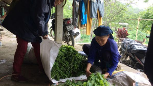 Bắc Kạn: Hiệu quả kinh tế cao từ cây rau bò khai