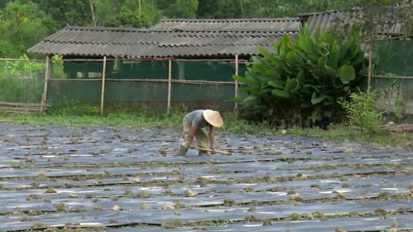 Nông dân Chợ Mới (Bắc Kạn) nô nức trồng ớt với hiệu quả kinh tế cực cao