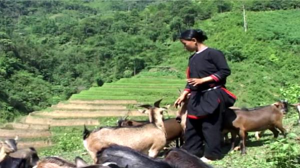 Tổng đàn dê trên địa bàn huyện Pác Nặm tăng cao