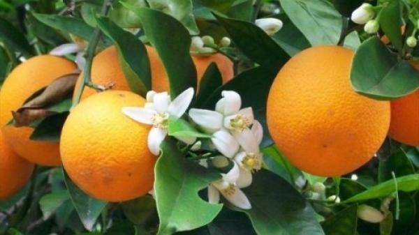 Bắc Kạn: Người dân mạnh dạn đầu tư vốn trồng cây cam Vinh