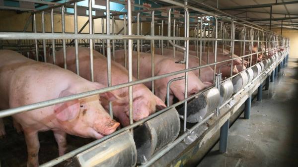 Bắc Kạn: Doanh nghiệp đầu tư chăn nuôi lợn gặp khó khăn