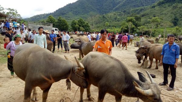Hiệu quả bất ngờ của chợ mua bán gia súc tại một miền quê ở Bắc Kạn thu hút các thương lái xa gần