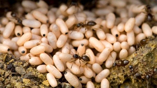 Bánh trứng kiến - đặc sản đầu hè đất Bắc Kạn