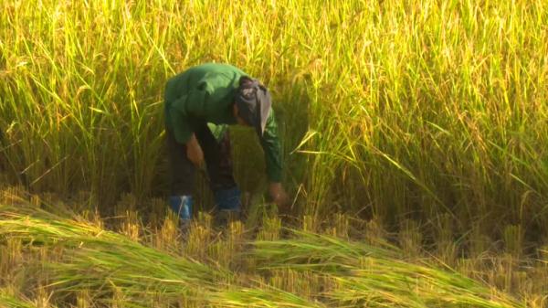 Rộn ràng không khí thu hoạch lúa mùa sớm tại Pác Nặm (Bắc Kạn)