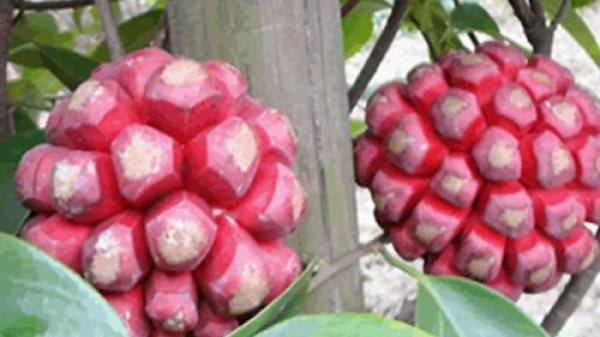 """Nhiều người đổ xô đi săn lùng quả """"lạ"""" 4kg/quả, có giá vài triệu đồng"""
