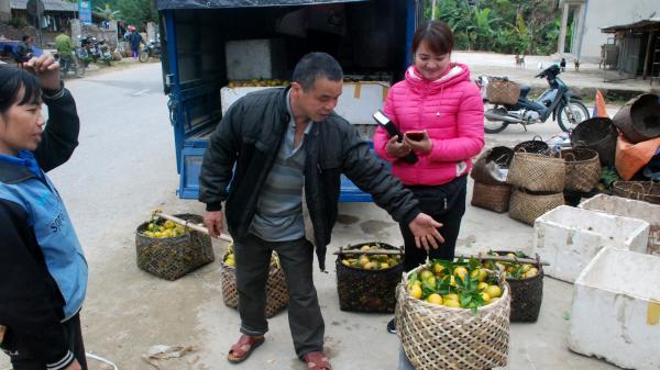 Chợ Đồn (Bắc Kạn): Người trồng quýt lao đao vì giá xuống thấp