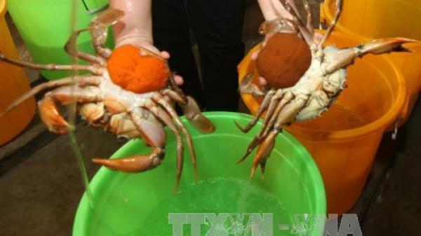Bạc Liêu: Giá cua biển tăng mạnh