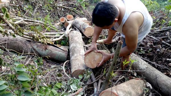 Gần 7ha rừng tại Bắc Kạn bị chặt phá trái phép