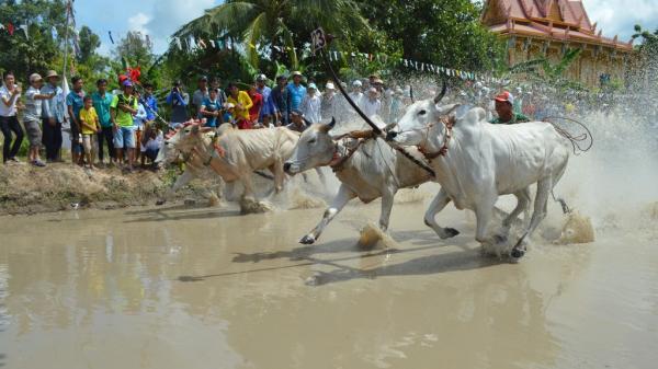 An Giang: Có gì đặc biệt trong ngày hội đua bò Bảy Núi năm nay?