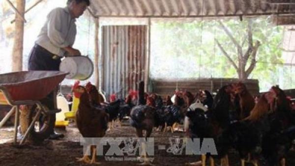 Bắc Ninh: Gà Hồ đem lại thu nhập ổn định cho người chăn nuôi