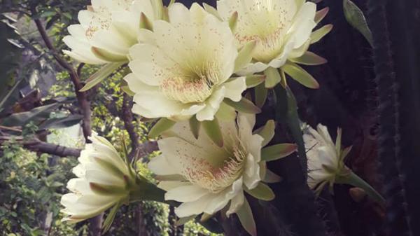 """Nóng trên mạng: Cây xương rồng """"khủng long"""" 30 năm tuổi nở hoa trắng muốt ở Quảng Ninh"""