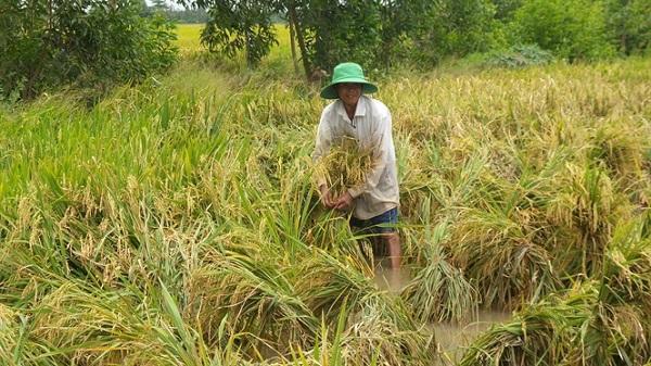Bạc Liêu: Hàng trăm hécta lúa Hè thu bị ngã, sập do mưa lớn kéo dài