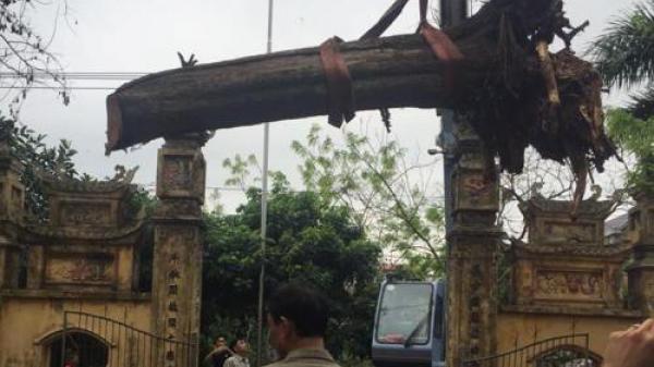 Đại gia gỗ Đồng Kỵ thông tin cây sưa 200 tuổi đã được bán ở Bắc Ninh