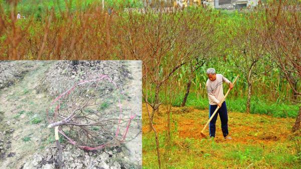 Bắc Ninh: Cả trăm gốc đào Tết của người dân bị kẻ gian phá hoại, người nông dân khóc ròng