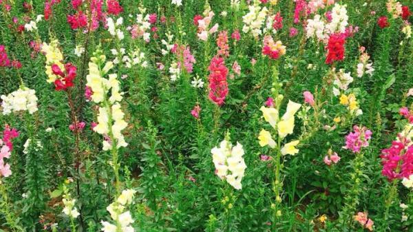 Vườn hoa đẹp ngỡ ngàng tại chùa Đông Lai, Bắc Ninh, đi chùa cầu may lại thỏa sức check-in