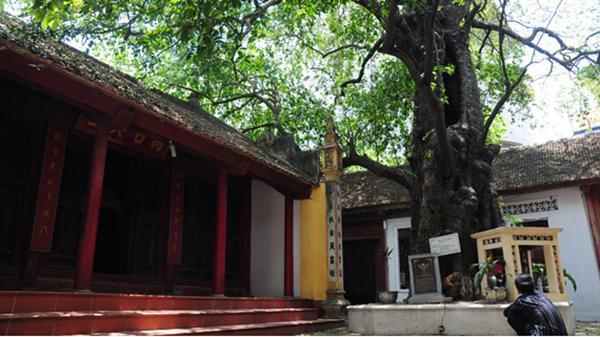 Những mẩu chuyện ly kỳ về cây thị thần gần 600 năm tuổi ở Bắc Ninh