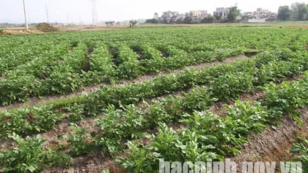 Bắc Ninh: Toàn tỉnh gieo trồng được gần 3.500 ha cây màu vụ Đông
