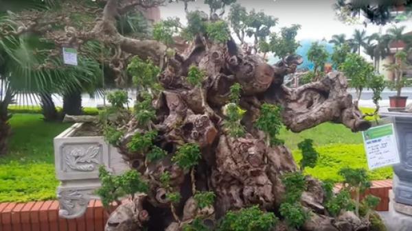 Cây trồng bờ rào 200 triệu xôn xao Bắc Ninh