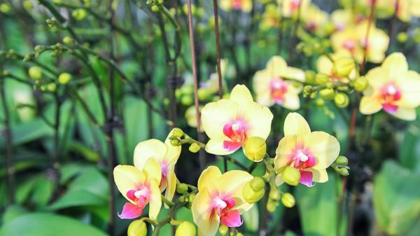 Thăm vựa hoa lan lớn nhất miền Bắc có hơn 80 vạn cây