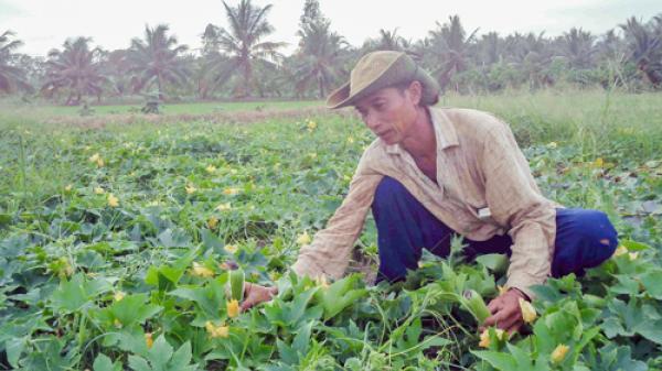 Mô hình trồng bí đao tăng thu nhập đáng nể của nông dân huyện Ba Tri (Bến Tre)