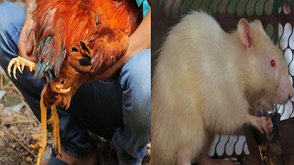 Lạ mắt với gà trống 4 chân, chuột cống bạch tạng tại lễ hội ở Bến Tre