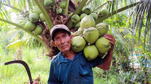 Bến Tre: Ăn cơm dưới đất, làm việc trên... ngọn dừa