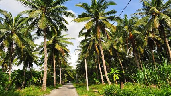 Bến Tre lấy 'hồn cốt' cây dừa để tái cơ cấu nông nghiệp