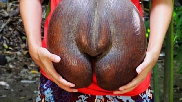 Những quả dừa mang hình thù kì dị, bí ẩn nhất thế giới