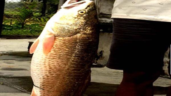 Phù Mỹ: Câu được con cá nghi là cá sủ vàng