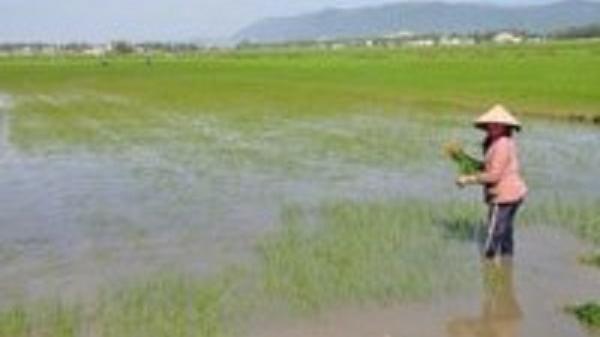 Hơn 2.000ha lúa mới sạ nguy cơ mất giống
