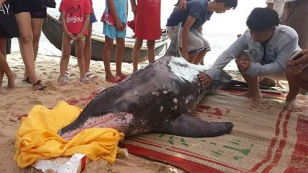 Huế: Cá heo nặng khoảng 150kg trôi vào bờ biển Thuận An được ngư dân giải cứu