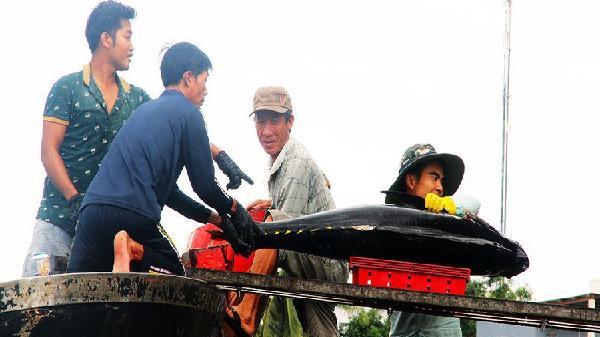 Bình Định: 'Câu' nhà lầu từ cá bò gù