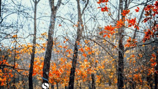 """Mê mẩn """"mùa thu trời Tây"""" ở những cánh rừng cao su vào mùa thay lá sát sạt Bình Dương"""
