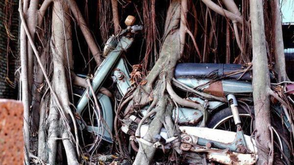 """""""Chuyện tình"""" cây cổ thụ quấn chặt xe máy hơn 1/4 thế kỷ ở đất Thủ tại Bình Dương"""