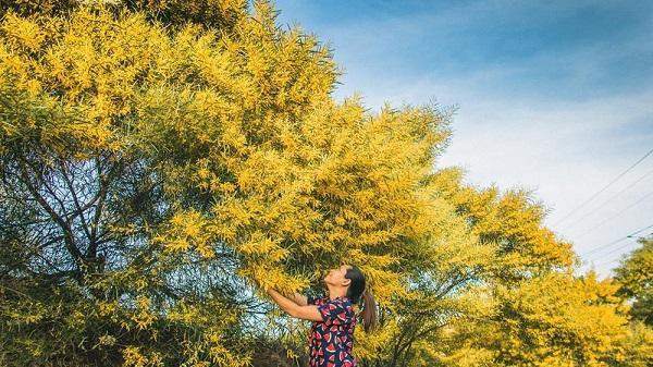 Rực rỡ mùa hoa keo lá tràm tại Phan Thiết