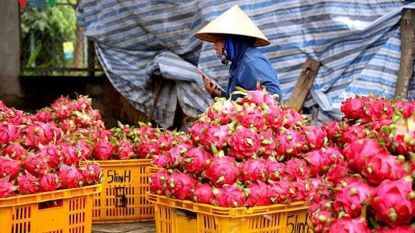 Bình Thuận: Thanh long giảm giá, nông dân lo lỗ vốn