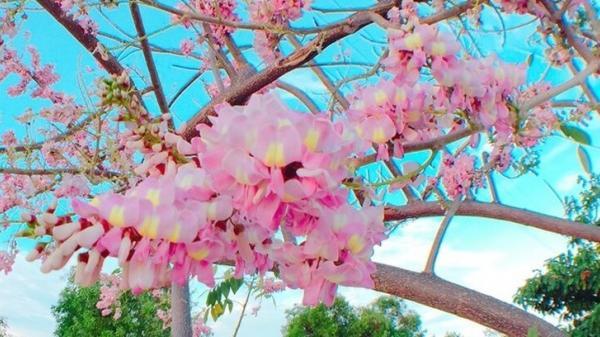 Hoa đỗ mai nở rực trên cung đường đẹp nhất Mũi Né