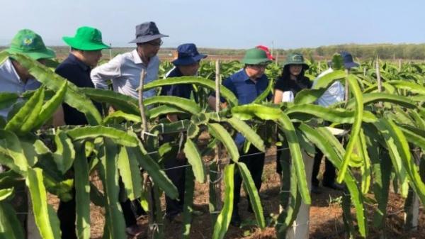 Bình Thuận: Tiêu thụ thanh long còn tiềm ẩn nhiều rủi ro