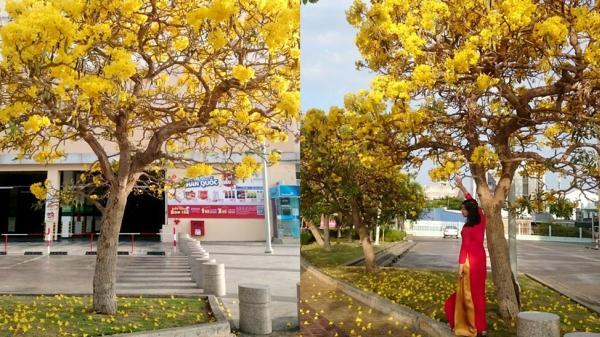 Hoa phong linh vàng rực rỡ một góc trời Phan Thiết