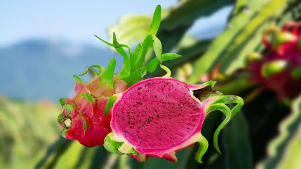 Bình Thuận: Sẽ phát triển thanh long ruột tím hồng?